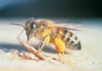 The Africanized Bee Myth