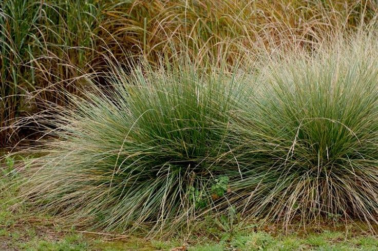 Festuca mairei atlas fescue 625 crane pinterest search for Low mounding ornamental grasses