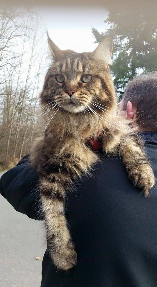 310 best extra large maine coon cats images on pinterest