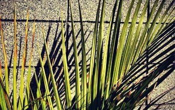 New Zealand native Nikau palm.