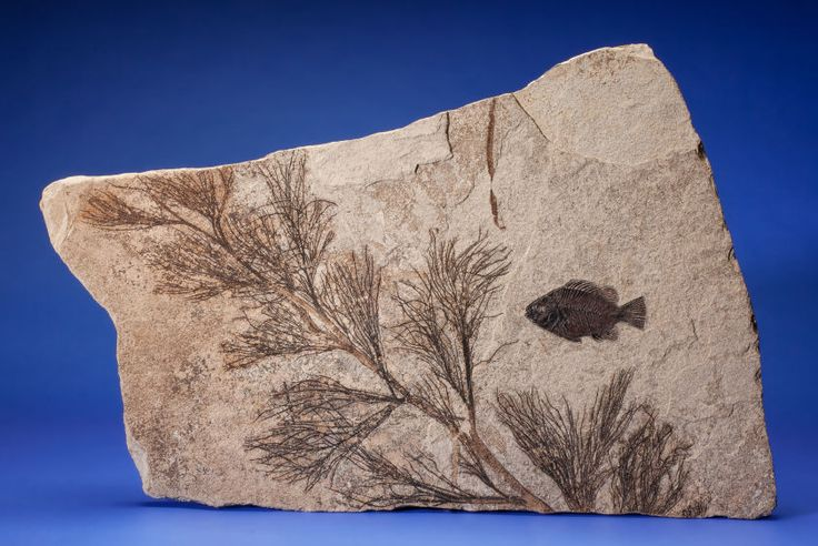 FOSSIL FISH WITH PALM FLOWER Priscacara serrata Eocene, Green River Formation Wyoming, USA