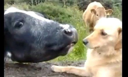 Cow Wants A Kiss Video (the cow in the background looks like he just doesn't get it lol)