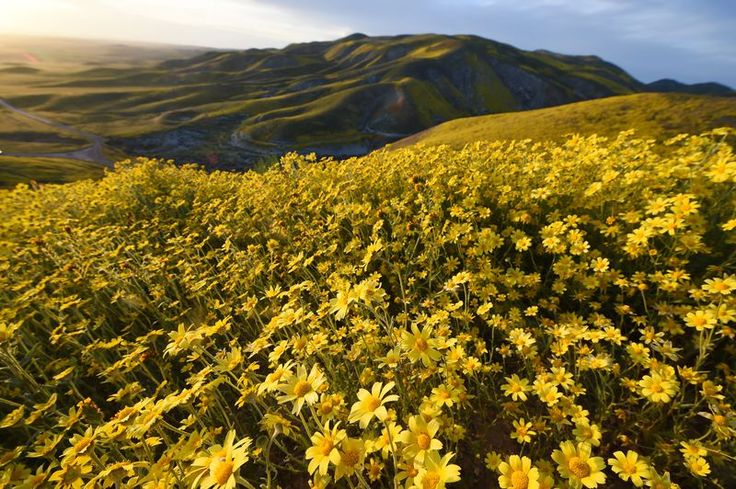 Hillside daisies (coreopsis) cover the hills in the Carrizo Plain National Monument near Taft, California during a wildflower 'super bloom,' April 5, 2017.