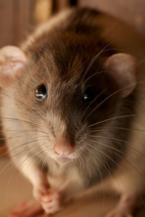 Just Cute Pet Rat