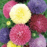 Graines de fleurs REINE MARGUERITE GALA (Callistephus sinensis ou aster chinensis) - Graineterie A. DUCRETTET