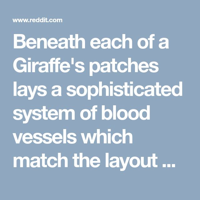 """Beneath each of a Giraffe's patches lays a sophisticated system of blood vessels which match the layout of the fur pattern. These allow the patches to act as """"thermal windows"""" and release body heat. : Awwducational"""