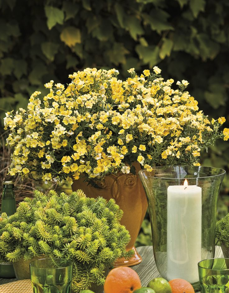 a tall container of sunsatia lemon nemesia helps to complete any table setting or garden
