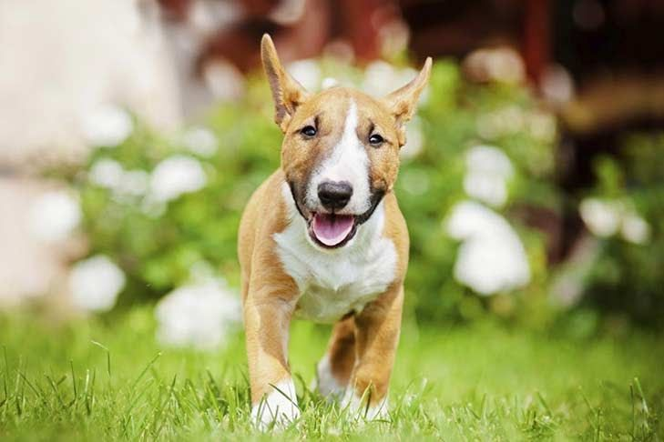 Bull Terrier For Sale Ohio Miniature Bull Terrier Dog Breeds Bull Terrier