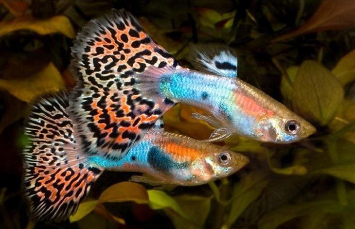 Estes peixes de água doce são apenas alguns dos mais coloridos do planeta. Com certeza são um toque especial da natureza! Confira.