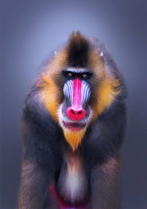 a study on the mandrill monkey from congo and nigeria Found in west central africa in the countries of congo, gabon and the cameroons, the mandrill baboon is at home in the rainforests although they are true quadrupeds, their opposable thumb.