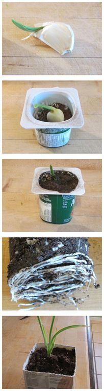 How to grow garlic indoors using a garlic clove that had sprouted in with the onions. So much easier that I thought it would be. Grew so fast I had to transplant it to a bigger pot after just a couple of weeks. So much fun.