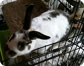 Greenfield, IN - English Spot Mix. Meet The Hop, a pet for adoption. http://www.adoptapet.com/pet/16158899-greenfield-indiana-rabbit