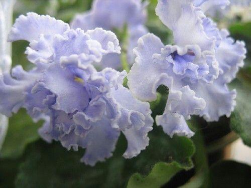 ЕК-Принц Тени (Е. Коршунова).   Огромные (7см) махровые волнистые фиолетовые звезды с больши-ми, как тени, белыми пятнами на лепестках. Крупные удлиненные зеленые листья.
