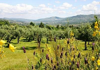 Olive grove and lavender. Mountain Beiras, Portugal. http://www.hideawayportugal.com/modules/property/listing-1023.htm