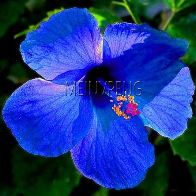 HIBISCUS SEED BLUE Hibiscus Rosa-sinensis Perennial Flower Seeds 20 SEED A