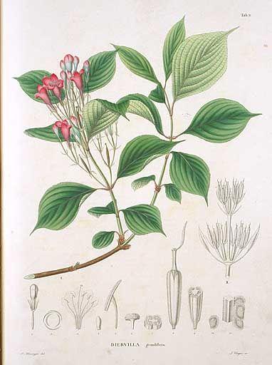 ハコネウツギ  Diervilla grandiflora Sieb. et Zucc.