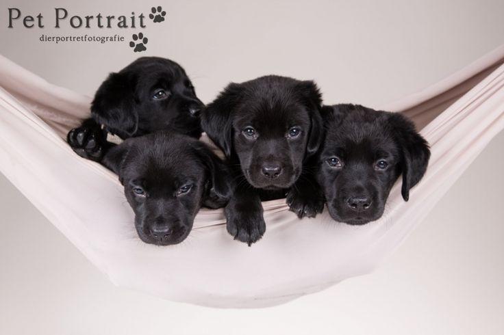Hondenfotograaf Hillegom - Nestfotoshoot Labrador retriever pups geel en zwart-43