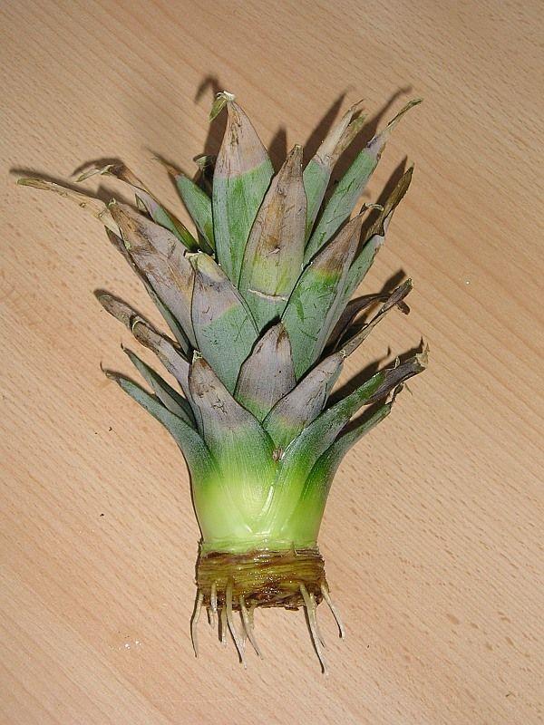 ber ideen zu ananas pflanzen auf pinterest. Black Bedroom Furniture Sets. Home Design Ideas