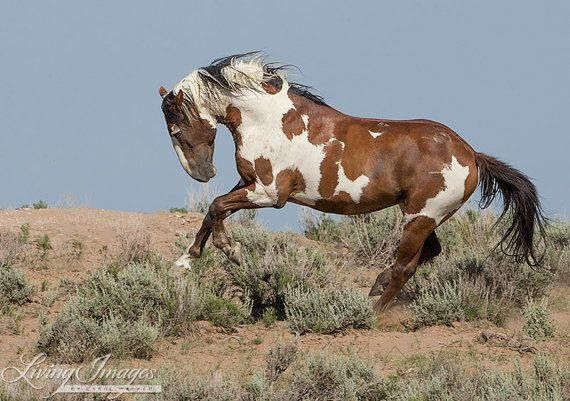 a beautiful pinto colored mustang  still wild, and free