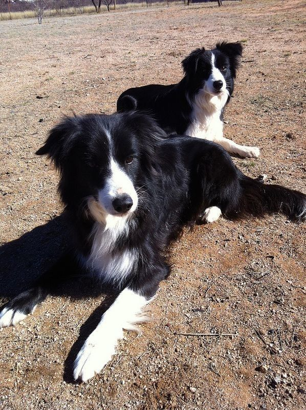 Pin By Georgia Severa On Dogs Border Collie Collie Dog Collie