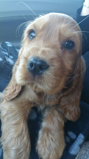 golden cocker spaniel puppies fluffy friends pinterest 17 best ideas about cocker spaniel puppies on pinterest