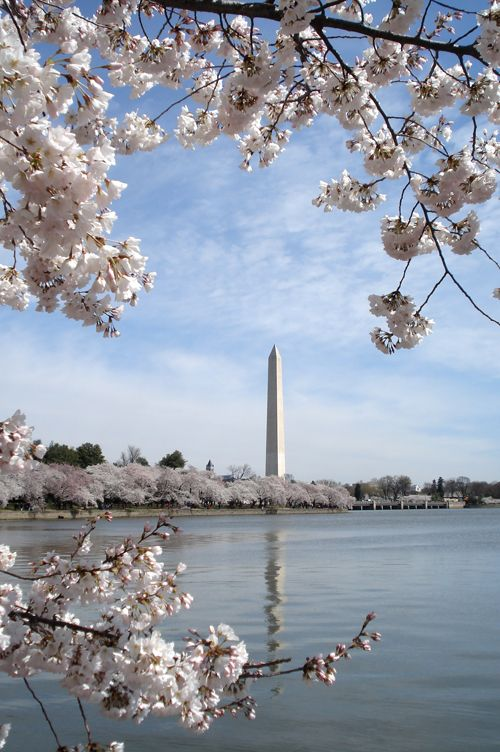 See the Cherry Blossoms in DC.