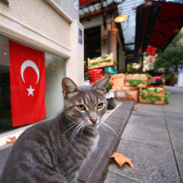 İstanbul turkish cat:)