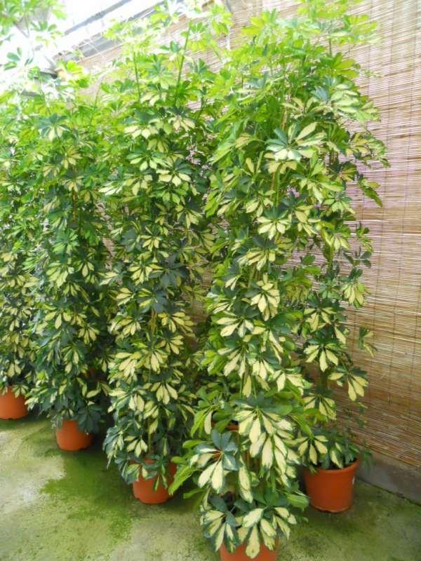 Indoor / Schefflera arboricola 'Gold Capella' POCA LUZ High light Medium water