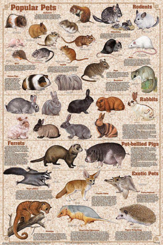 Popular Mammals Pets Poster 24x36 Hamsters, Gerbils