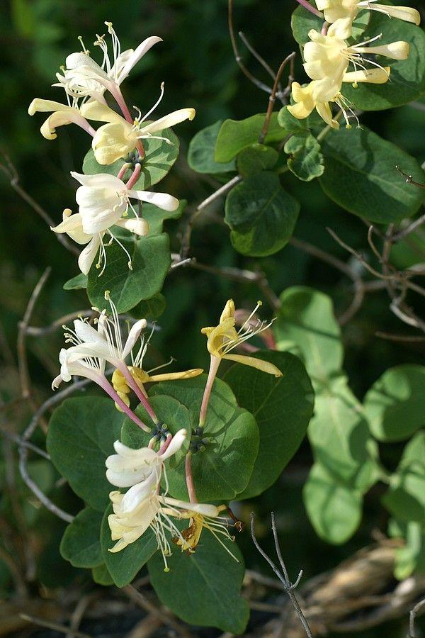 Chèvrefeuille des jardins - Chèvrefeuille d'Italie - Lonicera caprifolium - Goat-leaf honeysuckle - Ital...