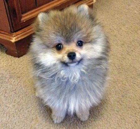 pomeranian sheepdog photo | Charlie the Pomeranian | Puppies | Daily Puppy