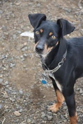 Pictures Of Diego A Manchester Terrier For Adoption In The Dalles Or Who Needs A Loving Home With Images Kitten Adoption Pets Dog Adoption