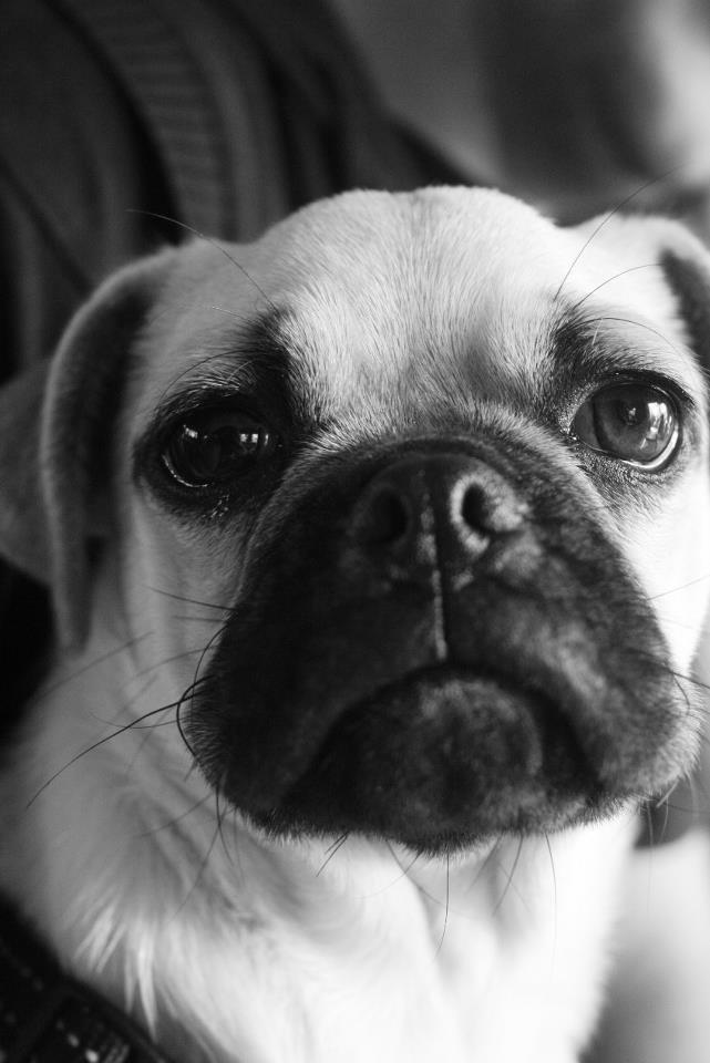 Oscar the Pug  Credit to Lillian Zeelie, awesome pic!