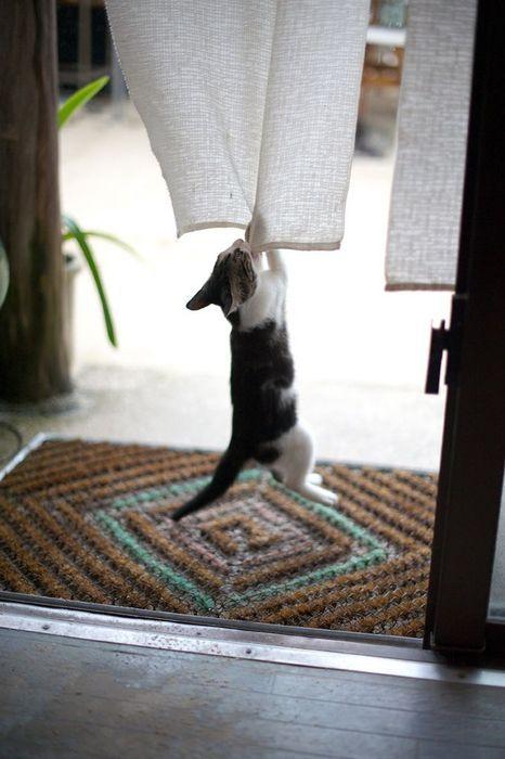 Curtains Climbers, Japan Nouns, Frisky Feline, Cat Man Du, Bad Kitty, Pets Photos, Cat Plays, Understand Japan, Learning Japan