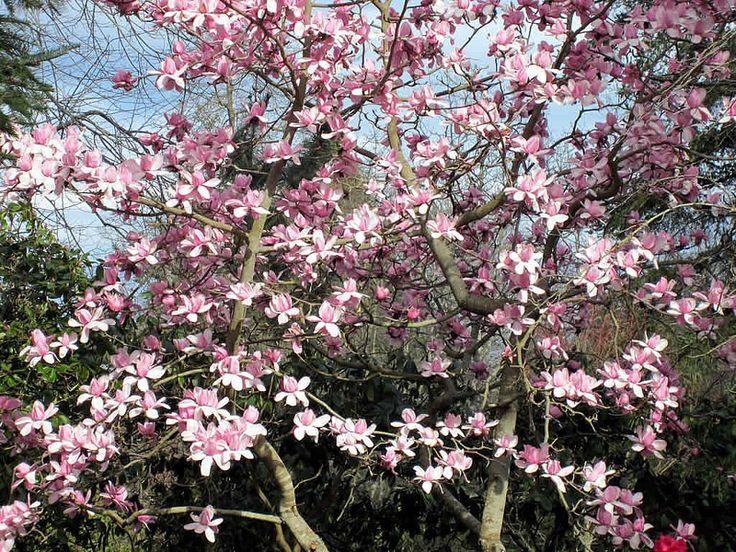 25+ Legjobb Ötlet A Következőről: Magnolia Trees A Pinteresten
