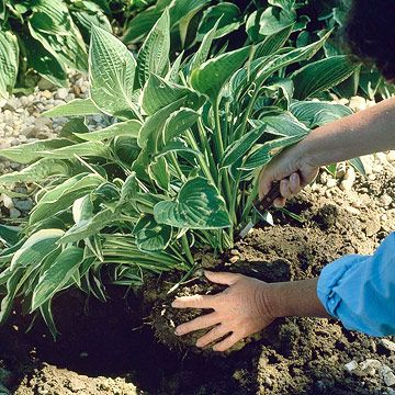 Keep your hostas healthy and thriving -- or simply make more to spread through your garden or to share with friends with these easy tips for dividing hostas.