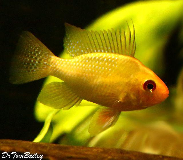 Premium Gold Ram Cichlid 1 5 To 2 Long Aquarium Fish Aquarium Fish For Sale Fish For Sale
