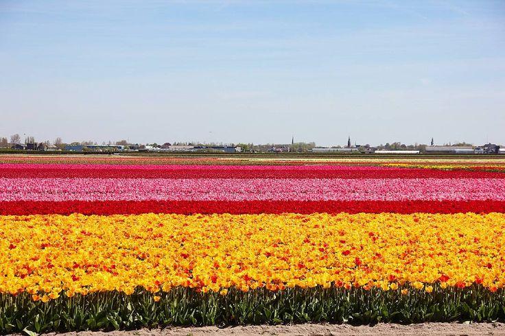 Sea of tulips Тюльпановые поля Кёкенхофа! Море цветов где каждая волна имеет свой цвет а яркость лагуны зашкаливает! #Кёкенхоф #Голландия #Нидерланды #МаминаБогемия  #Keukenhof #Holland #Nederland #Netherlands by indegerd