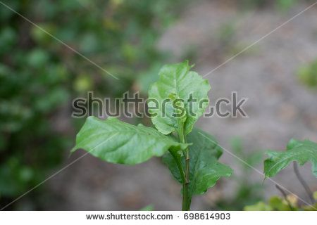Medicinal Plan Plumbago zeylanica also called Chitrak in India