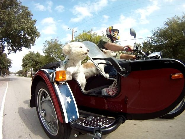 Hold on.  Here we go!: Bichon Biker, Bichon Cotton Beauties, Bichon Frise, Sidecar Dog, Community Post, 19 Dogs, Motorcycle Dogs