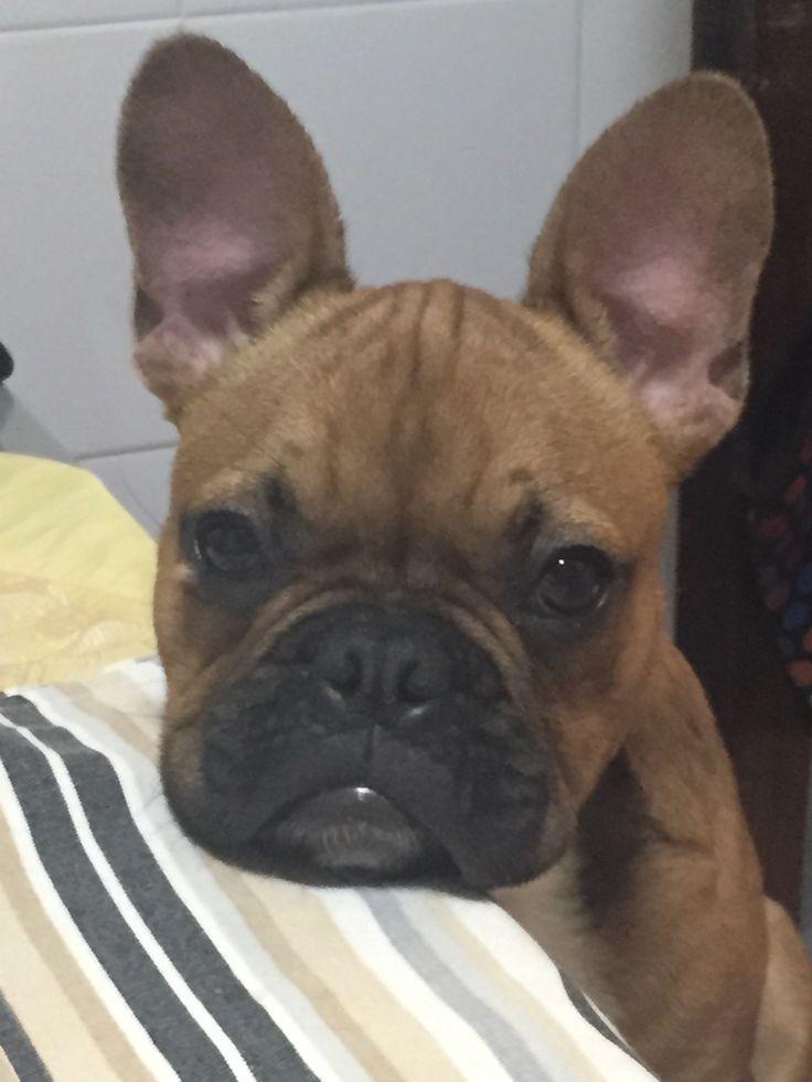 Bóris, a French Bulldog Puppy