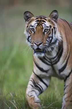 Bengal Tiger In Green MeadowbyTheo Allofs