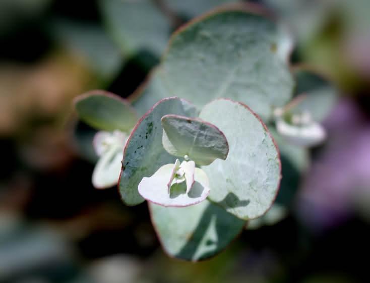 Eukalyptusblätter - Macro