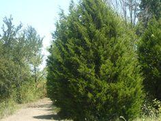 Cedar Tree Care: Tips For How To Grow Cedar Trees