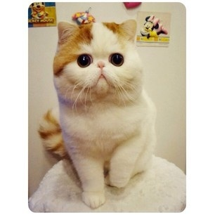 Snoopy the Exotic Shorthair: the Pug of the Cat Kingdom.