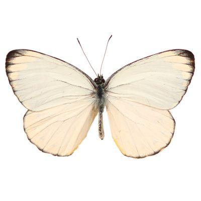 //: Tattoo Ideas, Beautiful Butterflies, Butterflies Pin, White Rose, Bazaart Pin, Pale Pink, Pink Butterflies, Pink Animal, Cabbages Butterflies