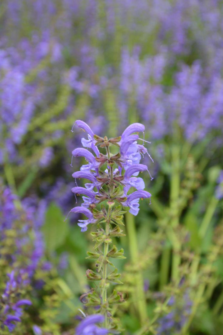 purple flowers from farm tomita, hokkaido