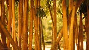 Картинки по запросу бамбук
