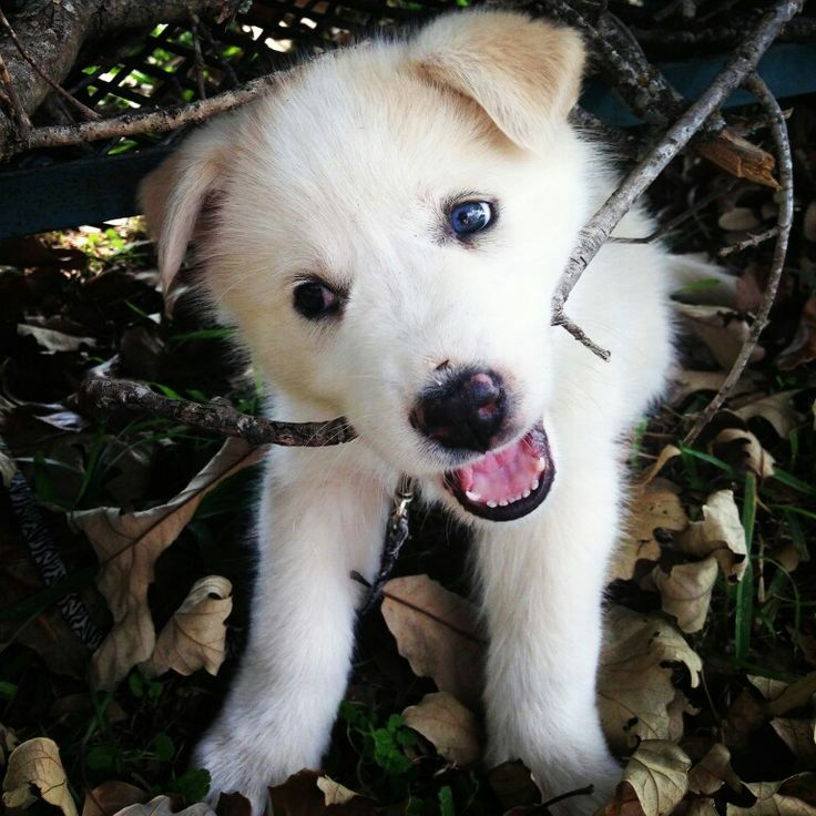 17 Best Images About Great Pyrenees Husky And Great