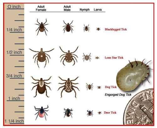 Image result for deer tick vs dog tick Health Deer ticks, Ticks